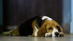 Beagle flop. They're good at this.