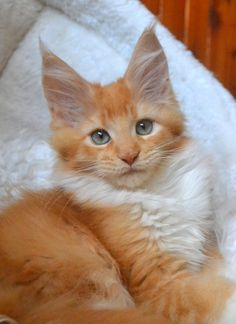 Red (Solid) with white Maine Coon