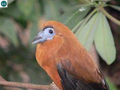 https://www.facebook.com/WonderBirdSpecies/ Capuchinbird/Calfbird (Perissocephalus tricolor); North-eastern South America; IUCN Red List of Threatened Species 3.1 : Least Concern (LC)(Loài ít quan tâm) || Chim thầy tu Phanxicô; Đông-bắc Nam Mỹ; HỌ COTINGA - COTINGIDAE.