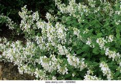 Pieris ryukuensis temple bells a lovely pieris producing large image result for white catmint mightylinksfo