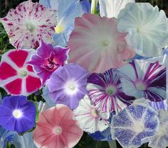 Shop by Color - Mixed Colors - A Japanese Morning Glory *MIXED* Ipomoea Seed Assortment
