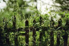 wild, viney fence