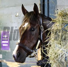 Breeders' Cup competitor Songbird checks out the surroundings from her stall at the Keeneland Race Course this morning Oct. 28, 2015 in Lexington, KY  (Skip Dickstein