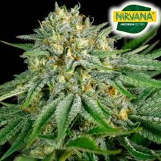 We present Pepita Mayala Feminized, a large yielding hybrid that has a long lasting calming effect with a THC level of 20%. #Seeds #Cannabis #strains #cbd #feminizedseeds Price: R549.99 Cannabis Seeds For Sale, South Africa, Bubbles, Calming, Plants, Plant, Planets
