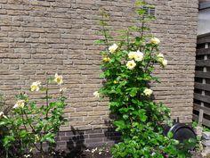 iw-motywacja: Niezwykłe róże w naszym ogrodzie