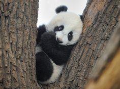 I wish baby pandas were for sale. I would need this cutie for Christmas! I wish baby pandas were for sale. I would need this cutie for Christmas! Cute Panda Baby, Baby Panda Bears, Panda Love, Baby Pandas, Cute Little Animals, Cute Funny Animals, Tiergarten Schönbrunn, Panda Mignon, Niedlicher Panda
