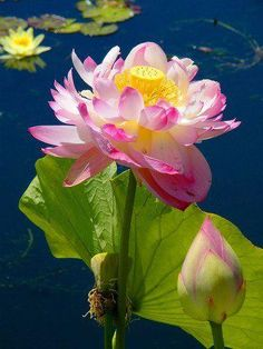 The lotus is a symbol of purity, and it blooms profusely in Buddhist art and literature. Its roots are in muddy water, but the lotus flower rises above the mud to bloom clean and fragrant. posted by Sifu Derek Frearson Flowers Nature, Exotic Flowers, Amazing Flowers, Beautiful Flowers, Colorful Roses, Aquatic Plants, Mother Nature, Flower Power, Planting Flowers