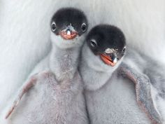 (via Penguin Picture  Animal Wallpaper  National Geographic Photo of the Day)
