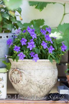 earthenware pot with purple flowering plant - very pretty!