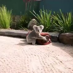 Koala climbing its human friend. - Loving little Koala - Cute Little Animals, Cute Funny Animals, Cute Dogs, Funny Dogs, Cute Babies, Cute Animal Videos, Tier Fotos, Pet Birds, Animals Beautiful