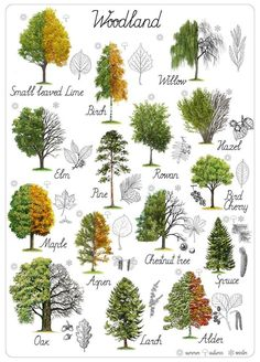 Horticulture, Leaf Identification, Popular Tree, Tree Leaves, Tree Tree, Oak Leaves, Nature Journal, Detailed Drawings, Trees To Plant