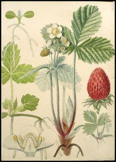 Het geheugen van Nederland - zoom 30% Vintage Botanical Prints, Botanical Drawings, Botanical Art, Botanical Gardens, Plant Illustration, Botanical Illustration, Strawberry Garden, Merian, Plant Painting