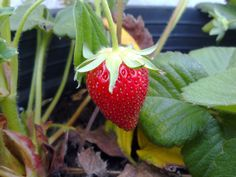 Las fresas de nuestro huerto