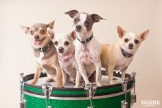 Chihuahua's ❀⊱And Friends with Their Couture⊰❀ drum roll