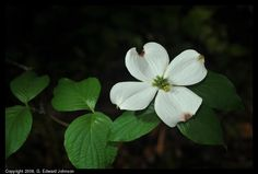 Dogwood flower Dogwood Flowers, Outdoors, Ink, Creative, Plants, India Ink, Plant, Outdoor Rooms, Off Grid