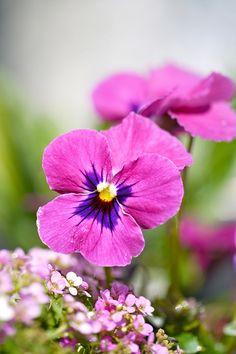 Pink and Purple Viola