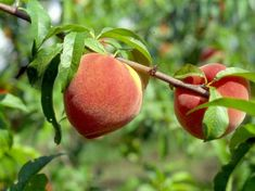 """Peaches 0528 'La Feliciana' is among the preferred peach varieties for residential and commercial growers in the San Antonio area. Credit: """"Texas Peach Handbook"""" Texas A&M University Press"""