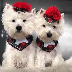 We are feeling very stylish in our new Scottish outfits! A very special thank you to our beautiful boys @westies_boatsman_and_henry and their talented mum for making our outfits for us!