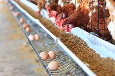 Lo mismo que se ha dejado de vender panga, por muy saludable que alguien diga que es ¿Y si los supermercados españoles tampoco vendieran huevos código 3 de gallinas enjauladas?  http://cadenaser.com/ser/2017/01/10/gastro/1484045875_583670.html