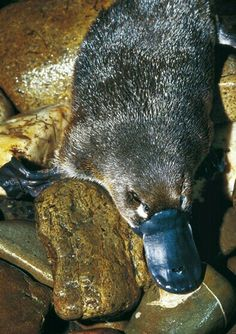Australian Wildlife - A Platypus Reptiles, Mammals, Beautiful Creatures, Animals Beautiful, Duck Billed Platypus, Funny Animals, Cute Animals, Australian Birds, Unusual Animals