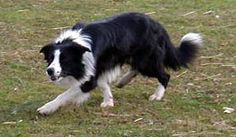 This is a Border Collie!  Munson's father was this breed of canine, known for their intelligence and herding sheep.  In short, they are very active and need to be kept busy and tired.