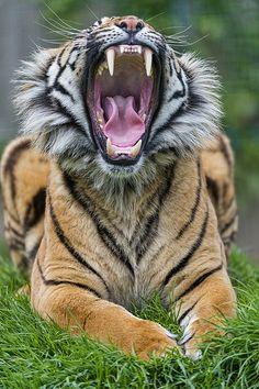 Yawning Sumatran tiger II
