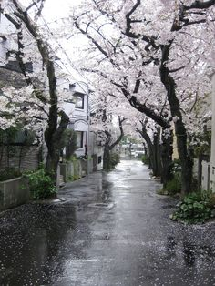 Rain and sakura