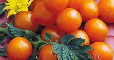 Tomaatti, Kirsikka-, Sungold F1