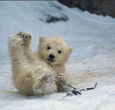 Hahaha looks like the baby polar bear is sliding