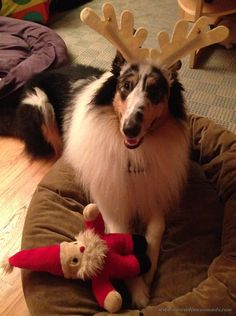 Collies love to be helpful- especially to Santa! Harlequin blue merle rough collie dog, Huxley.