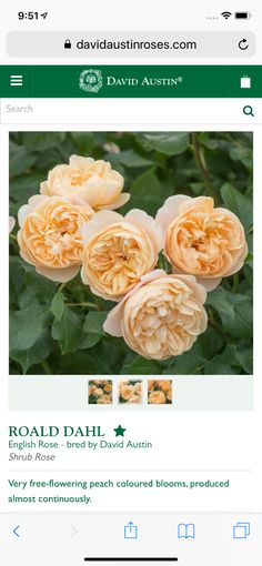 Shrub Roses, David Austin, Roald Dahl, English Roses, Peach Colors, Shrubs, Bloom, Flowers, Plants