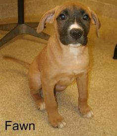 MICHIGAN ~ URG'T ~ meet Fawn ID 292889 ~ an #adoptable #Hound #puppy #dog in #GrandRapids. Found stray & is now ready to find a new forever home. Fawn is friendly puppy has a great personality seems very comfortable with hugs and close contact with people, has shown interest in playing with toys but isn't 100% sure what to do with them, and she tends to eat quickly but hasn't shown any signs of food aggression. KENT COUNTY ANIMAL SHELTER 740 Fuller Avenue NE, Grand Rapids MI  -PH 616-632-730...