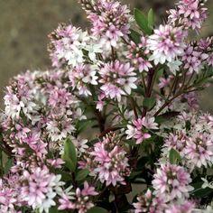 HEBE 'Pink Paradise' ® (Véronique arbustive) : Petits arbustes à feuillage persistant, intéressants pour leur aspect décoratif permanent. Culture facile en sol poreux. Feuillage vert glauque. Tige pourprée. Fleurs rose frais. Très florifère.