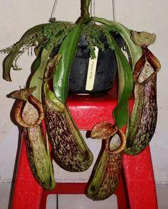 Nepenthes Dyeriana