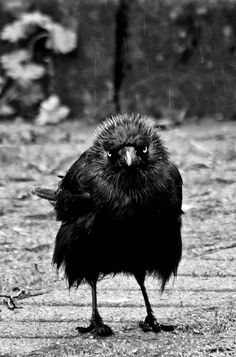 The western jackdaw (Corvus monedula), also known as the Eurasian jackdaw, European jackdaw, or simply jackdaw, is a passerine bird in the crow family. ~~Stadtkind   Western Jackdaw by skia~~