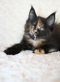 #Maine_coon #kitten