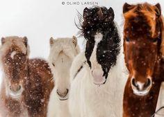 Horse | Iceland | by Oliko Larsen