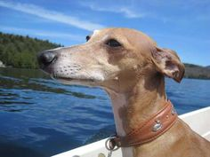 Monty Morris enjoying a sunny sky and beautiful blue lake.  *Must* get one of these leather collars for Hudson.