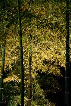 It's a bamboo with light-up at the Rikugien garden park, Tokyo. The green is more impressive by the light.