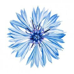 Image result for cornflower watercolor