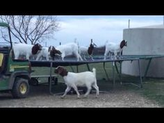 Goats Caught Jumping On Farmer's Trampoline