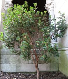 Evergreen shrub with slow growth up to The leaves are a glossy deep green with red stems trunk and branches have rich reddish