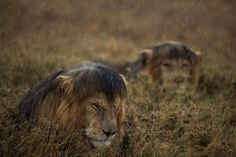 The Short Happy Life of a Serengeti Lion by Michael Nichols