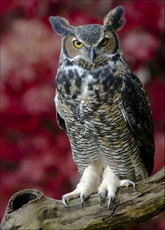 Great Horned Owl - by Jen St. Louis [Flickr]