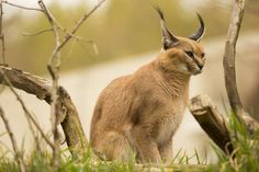 pretty caracal at the Oregon zoo - Shot at 200mm f/2.8 1/400sec and iso 100