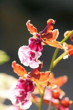 Cómo cuidar de una planta del género epiphyllum | eHow en Español