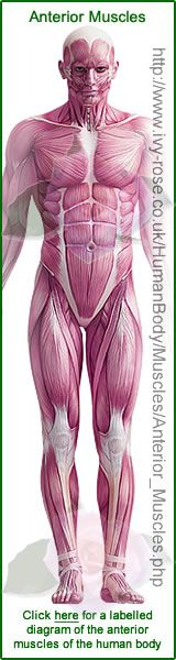 Anterior Muscles in Human Body Diagram good for me drawing.