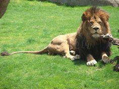 León africano en Bioparc Valencia