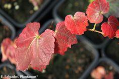 Parthenocissus www.plantamus.es