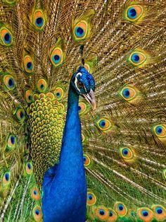 'Pfau   Peacock' von mg-foto bei artflakes.com als Poster oder Kunstdruck $18.71
